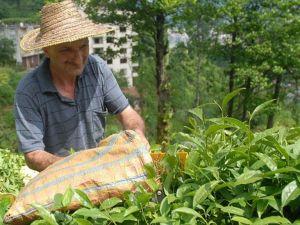 Yaş çay alım fiyatı 1,90 lira olarak açıklandı