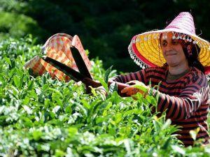 Çayın bahçeden demliğe 'zorlu' yolculuğu