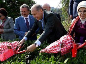 Cumhurbaşkanı Erdoğan Rize'de çay hasadı yaptı