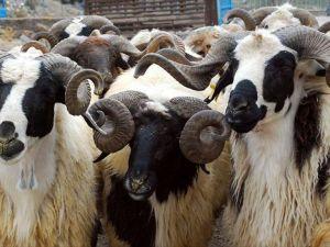 Avrupa'nın en büyük canlı hayvan borsası Erzurum'a kurulacak