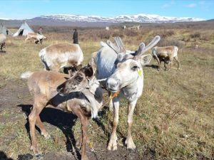 Duha Türkleri'ne verilen geyikler yavruladı