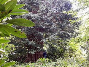 Dünyanın en yaşlı 5 ağacından biri Türkiye'de
