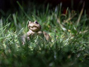 Kurbağalarda toplu ölüme neden olan mantar belirlendi