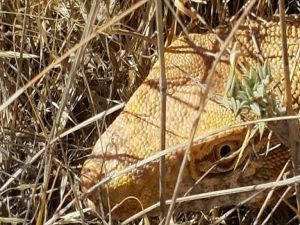 Nesli tehlike altında olan 'çöl varanı' Şanlıurfa'da görüntülendi