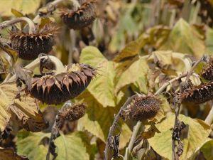 Tarım ürünleri küresel ısınmanın hızına yetişemeyecek
