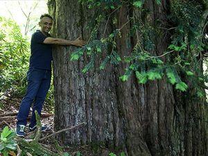 4 bin 112 yaşındaki porsuk ağacı Bronz Çağından bu yana Anadolu'da