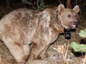 Dünyanın göç eden tek boz ayıları Sarıkamış'ta keşfedildi