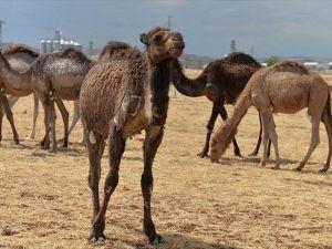 İhaleyle aldığı develeri için çiftlik kurdu