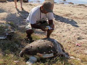 Kuşadası'nda 2 deniz kaplumbağası sahile vurdu