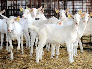Çanakkale keçi ve koyunda 'gen merkezi' oldu