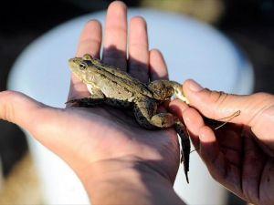 Türk profesörün kurbağaları Paris restoranlarında tüketilecek