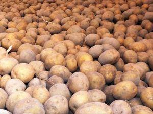 Patates Tarlada 25 Kuruş, Pazarda 1,5 Lira