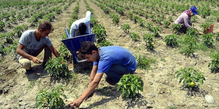 Islah Edilen Çöplükte Organik Sebze Yetiştiriliyor