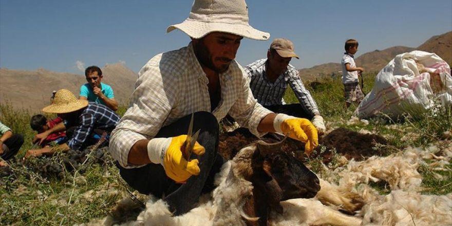 Yüksekova'da Halaylı Koyun Kırkma Şenliği