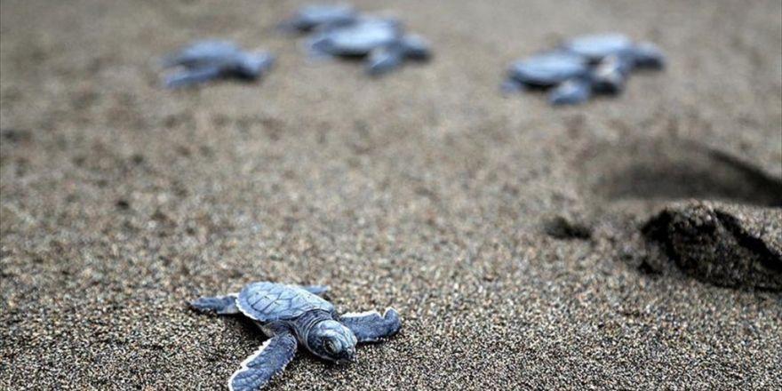 Yavru Deniz Kaplumbağaları Denizle Buluştu