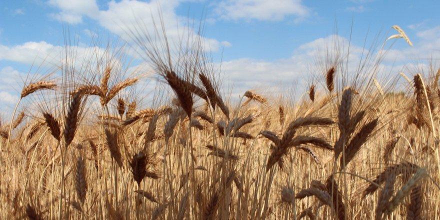 6 ilçesinde hububat üreticisinden 20 bin ton ürün alındı