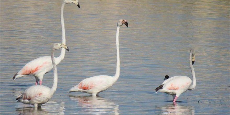 Flamingolar Beyşehir Gölü'nde Mola Verdi