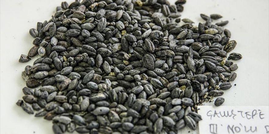 2 Bin 800 Yıllık Buğdayları Yeniden Yeşertme Umudu
