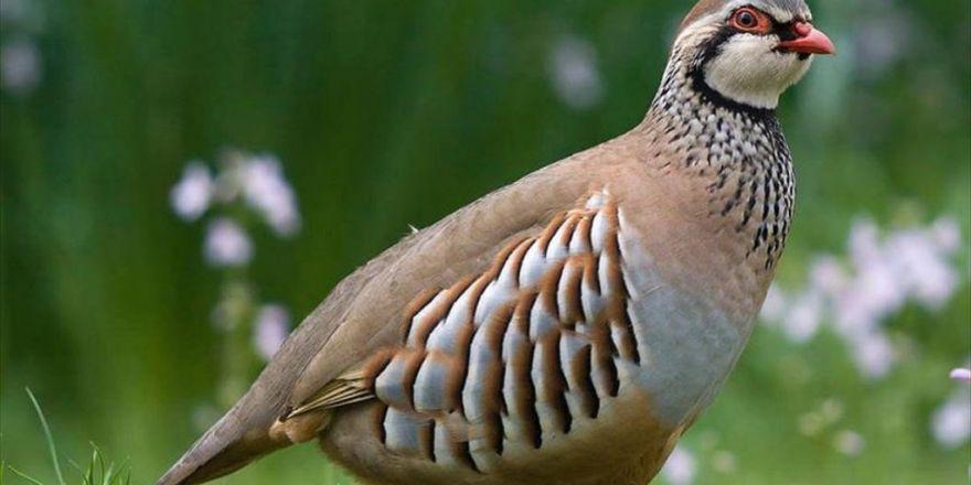Binlerce Keklik Ve Sülün Doğaya Salındı