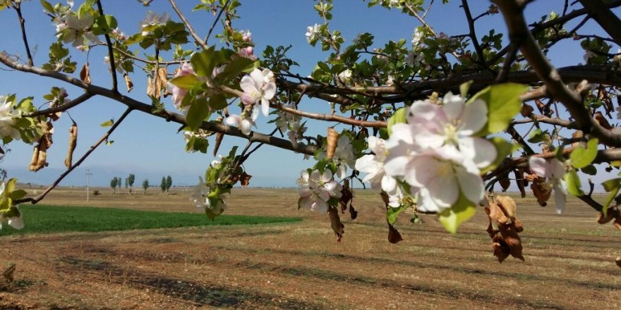 Sonbaharda çiçek açan elma ağacı şaşırttı