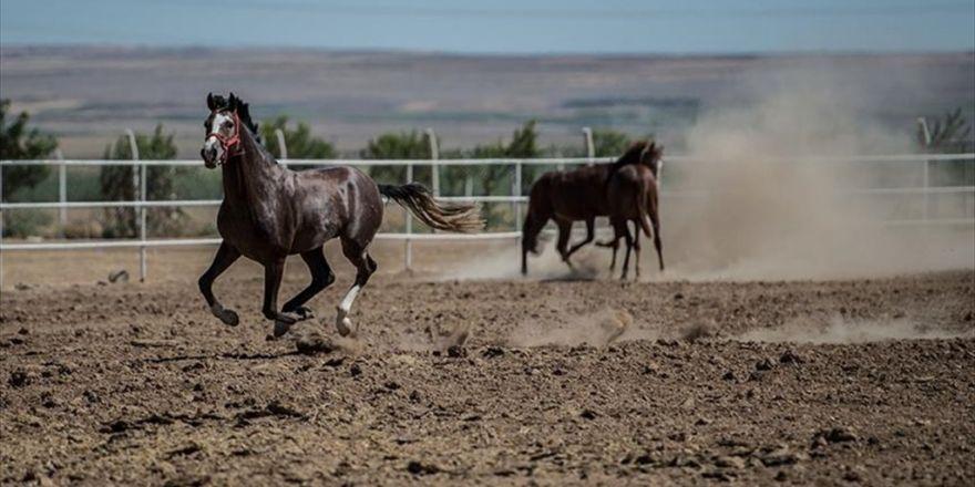 Safkan Arap Atları Suruç Ovası'nda Yetişiyor
