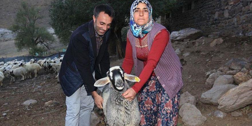 Erzurum'da Çalınan Kuzularını Tesadüfen Bingöl'de Buldu