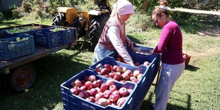 Isparta Elması Dalında Satılıyor
