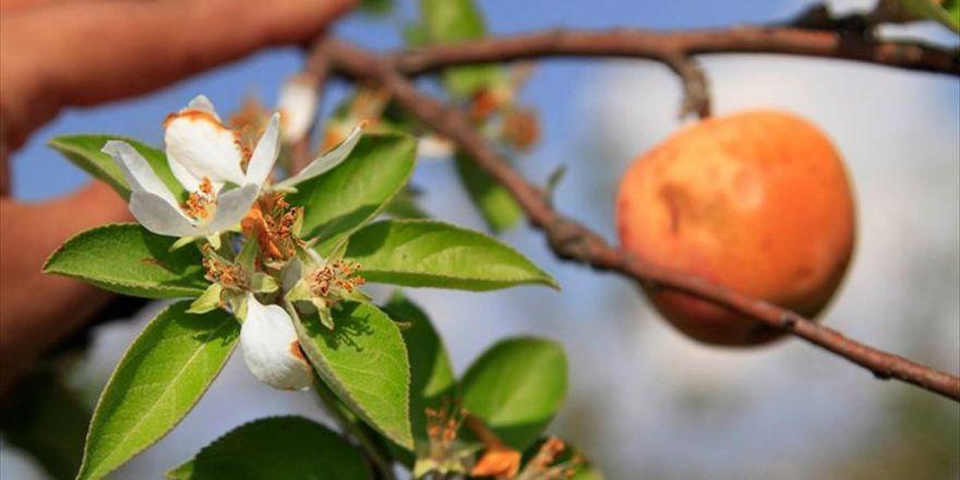 Aynı Ağaçta Hem Meyve Hem De Çiçek Var