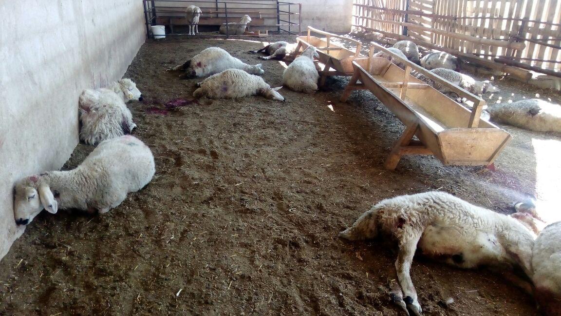 Kurt saldırısına uğrayan 20 koyun telef oldu