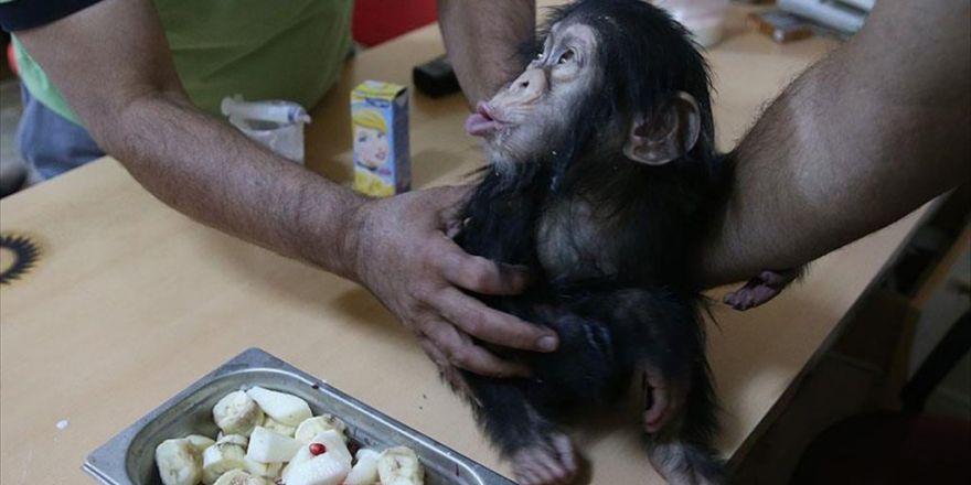 Minik Şempanze 'Can'a Özel Bakım