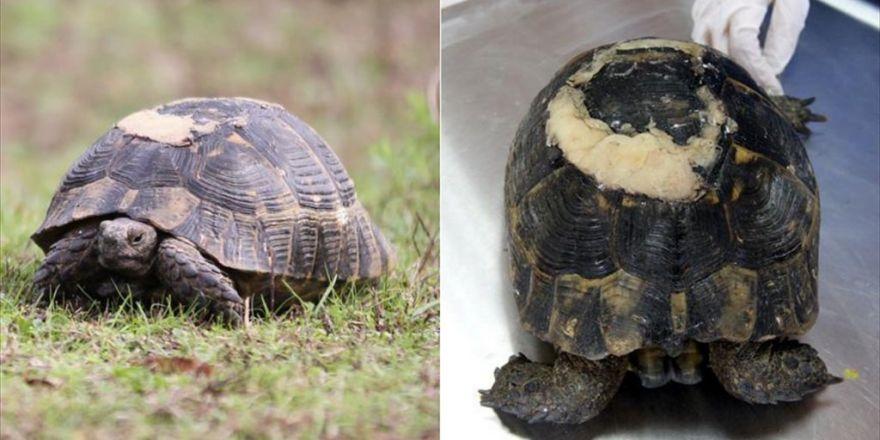 """Yaralı Kaplumbağa """"Diş Dolgusu"""" Malzemeleriyle Yaşama Tutundu"""
