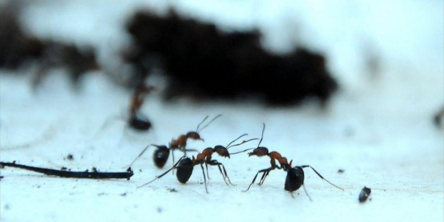 Karıncalar Yön Bulmak İçin Güneşin Konumunu Kullanıyor