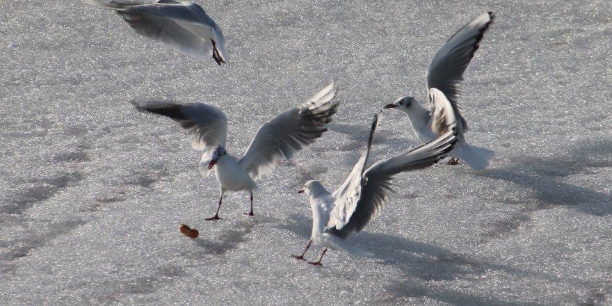 Beyşehir Gölü'nde Martıların Buz Üstünde Ekmek Kavgası