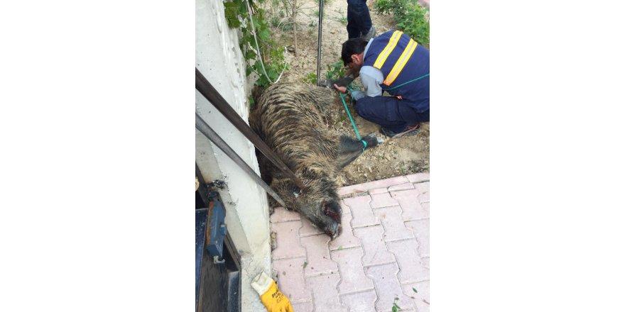Sancak Mahallesi'nde domuz korkusu
