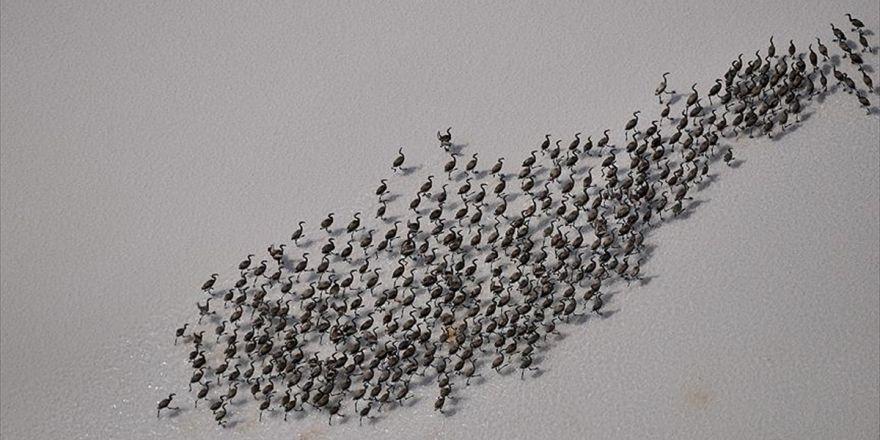 Tuz Gölü'nde Yavru Flamingoların Yürüyüşü Başladı