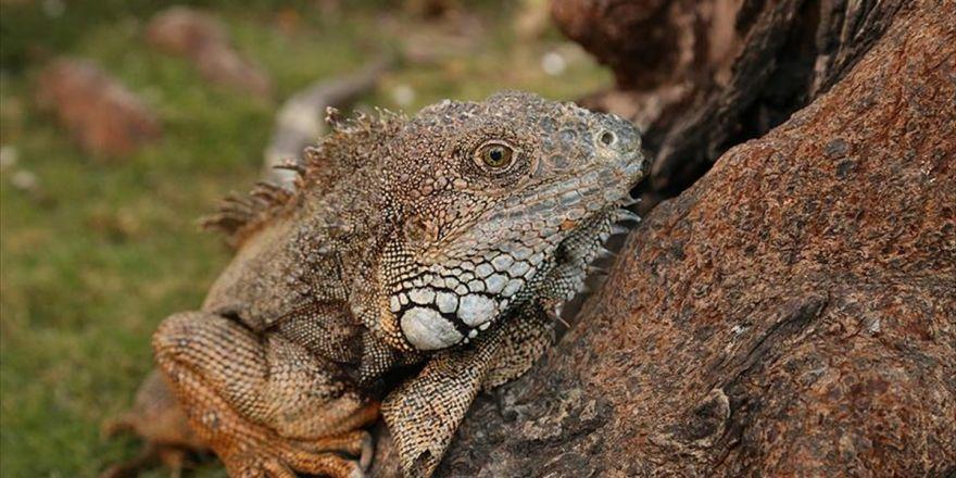 Ekvador'daki Park İguanaların Evi Oldu