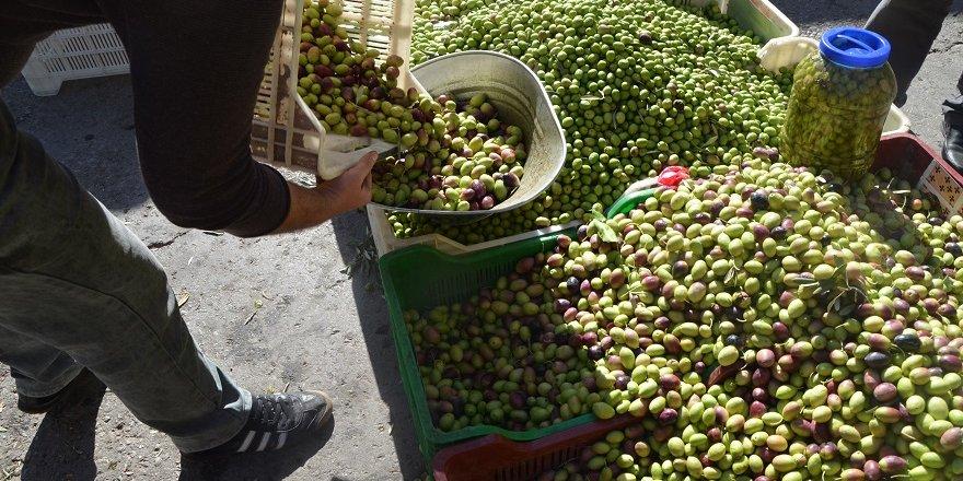 Fiyatlardan dolayı kurma zeytine ilgi artıyor