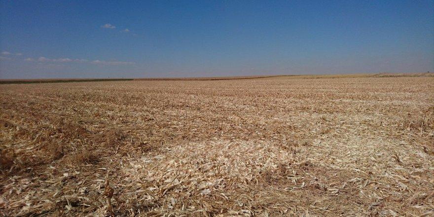 Başkasına ait tarladaki mısır hasadının sırrı çözüldü