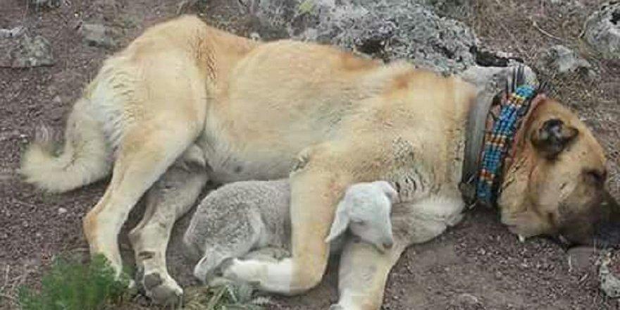 Kangal köpeği ile kuzunun dostluğu