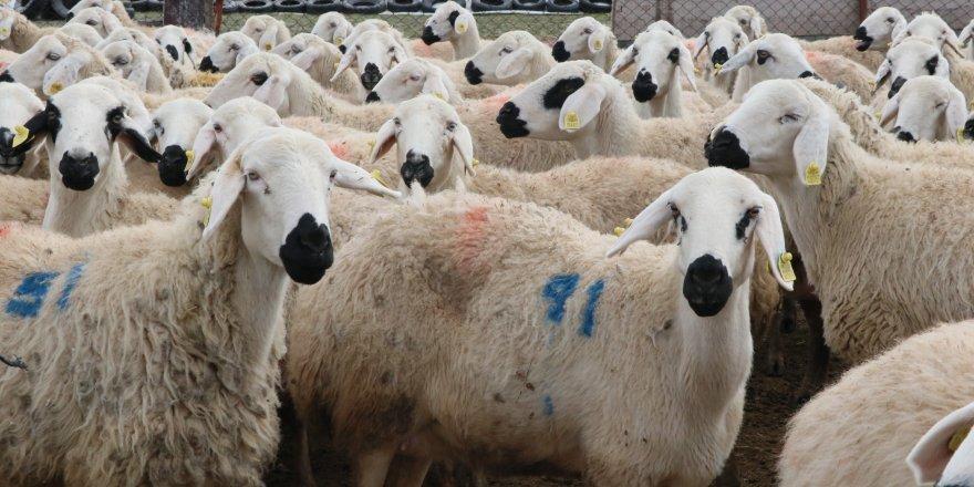 300 koyun projesinde süreç nasıl işliyor?