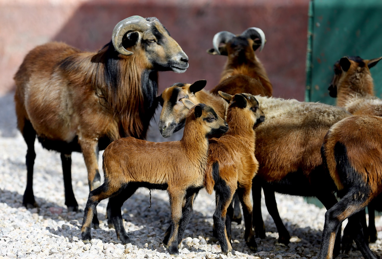 Karatay'da Himalaya koyunları yavruladı
