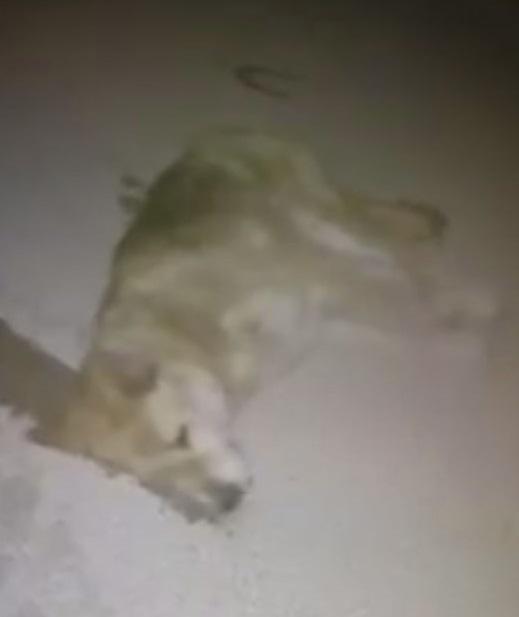Zehirlendiği iddia edilen köpek, telef oldu