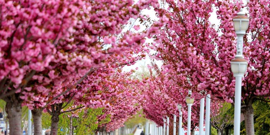 Konya'da Sakura Zamanı