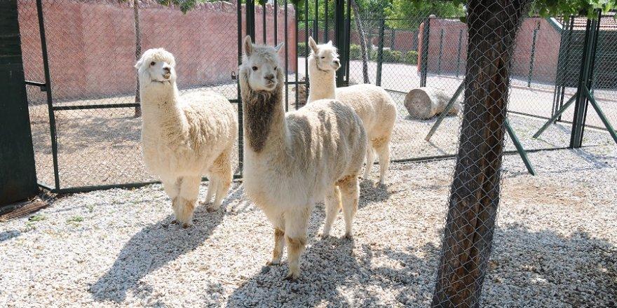 Karatay Belediyesi Hayvanat Bahçesi'nde Güney Amerika'dan misafir