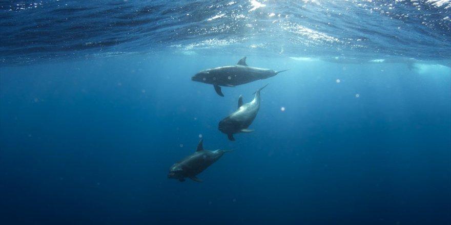 Meksika'ya Körfezdeki Nesli Tükenmekte Olan Yunusları Koruma Çağrısı