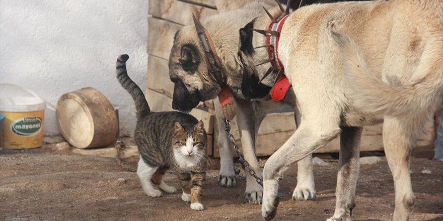 Kangallar İle Kedilerin Şaşırtan Dostluğu