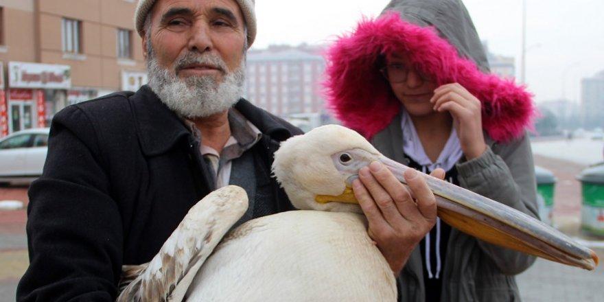 Yaralı Pelikana Bir Gece Evinde Baktı