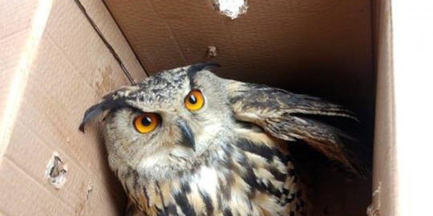 Yaralı orman baykuşu koruma altına alındı