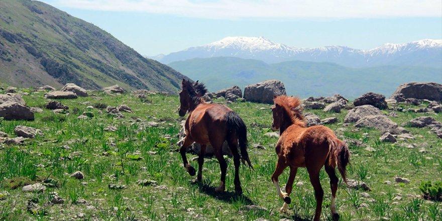 Munzur Dağlarının Mevsimlik Atları İlgi Görüyor