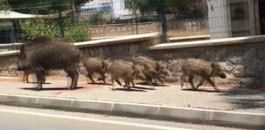 Tarlalara inen domuzlar mahalleliyi mağdur etti